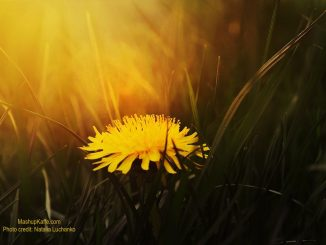 Lone Dandelion at Sunset