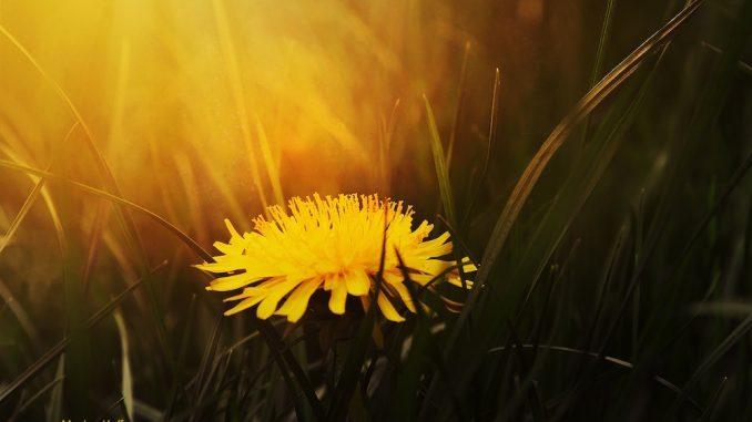 Lone Dandelion at Sunset